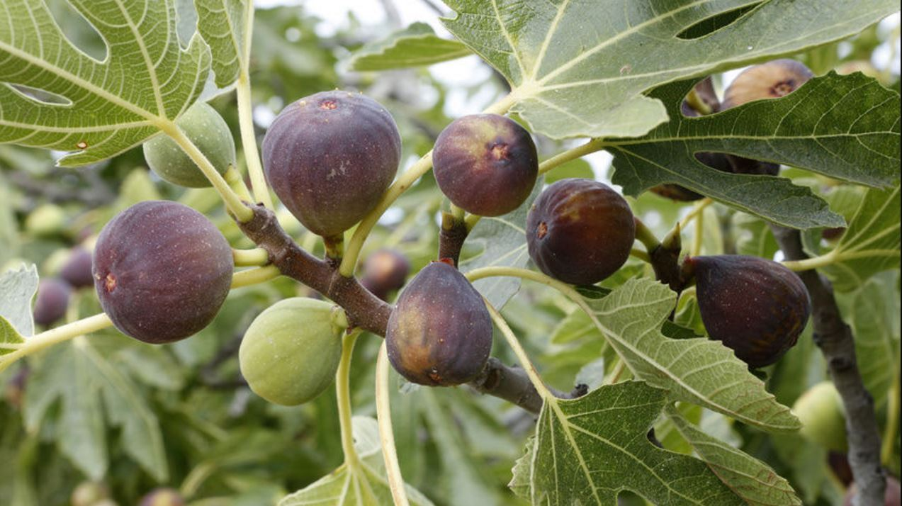 Figs on a branch - brown figs and some green figs