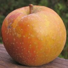 Ashmead's Kernel apple - dull red and yellow colors, with freckles throughout