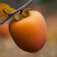 hachiya persimmon on a branch - by Robert Couse-Baker via flikr
