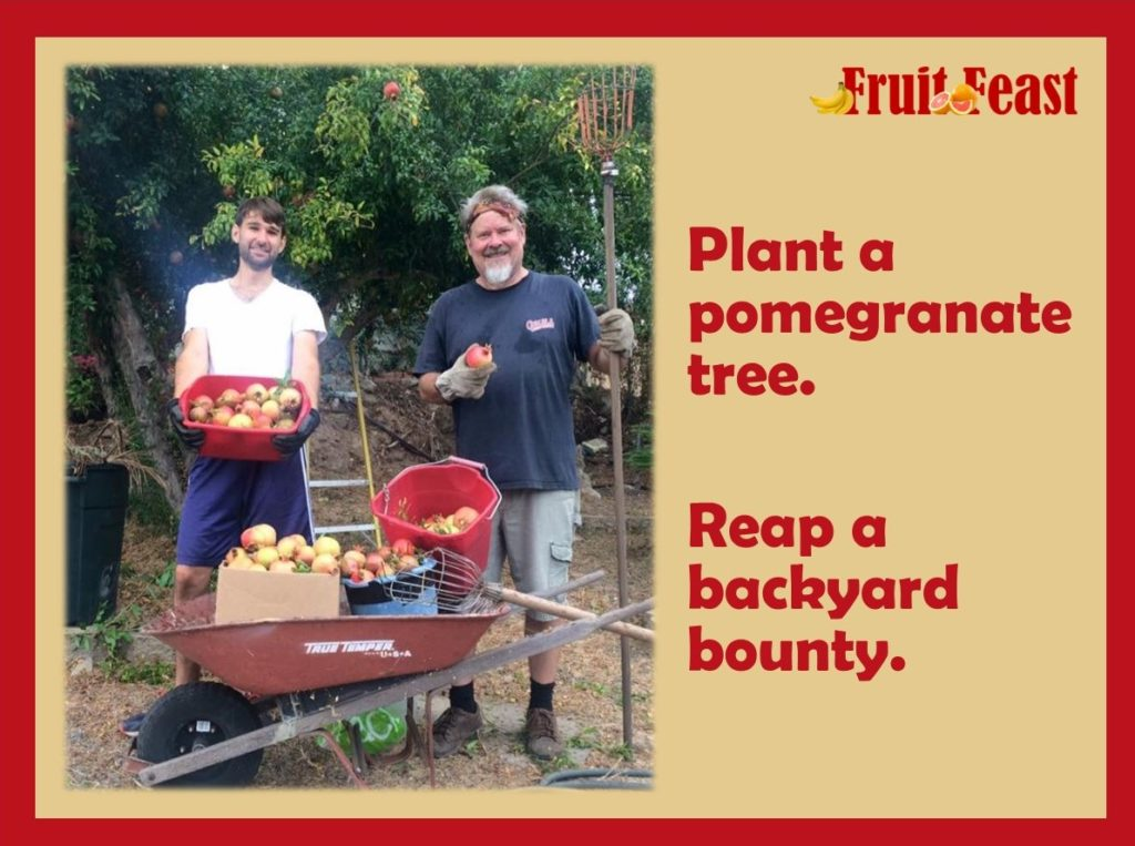Plant a pomegranate tree. Reap a backyard bounty. Photo of two men with wheelbarrow full of pomegranates and they are standing in front of a tree.