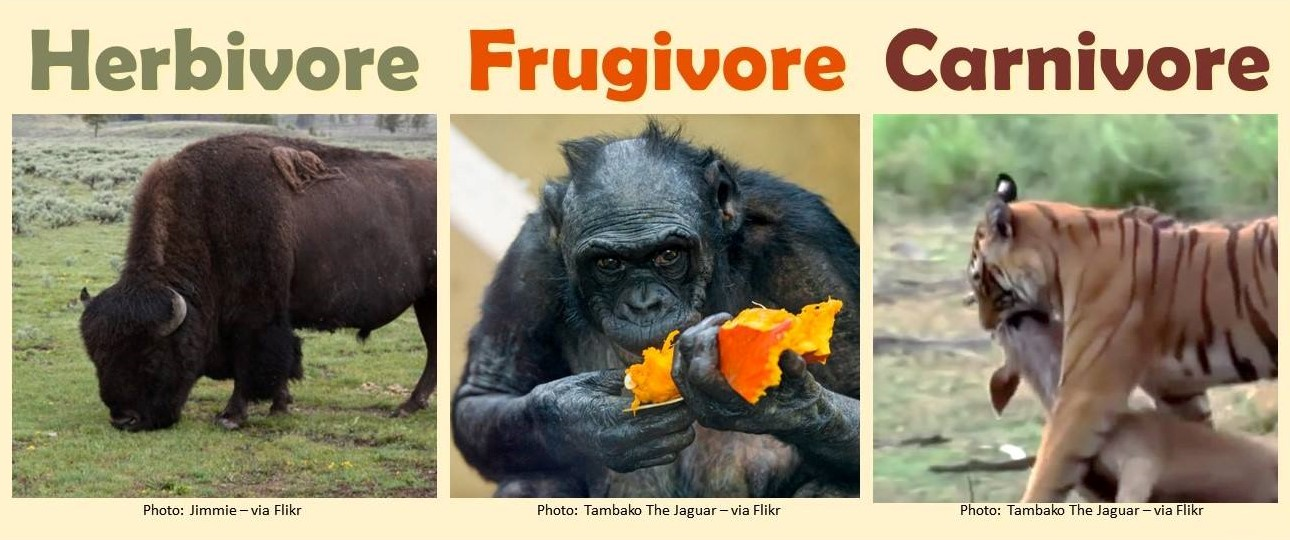 Herbivore With Photo Of Buffalo Grazing In Field, Frugivore With Photo Of Chimpanzee Eating Fruit, Carnivore With Photo Of Tiger With Mouth On Throat Of Prey